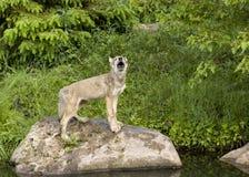 嗥叫狼的小狗 免版税图库摄影
