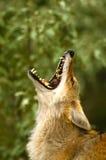 嗥叫的土狼 免版税库存照片