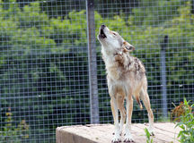 嗥叫的狼。 免版税库存照片