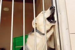 嗥叫通过风雨棚笼子,哀伤的情感momen的拉布拉多小狗 免版税库存照片