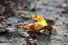 嘎吱咬嚼的秋天叶子 免版税库存照片
