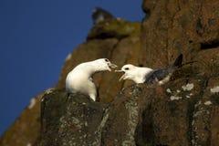 嘎嘎叫在峭壁壁架苏格兰的两北管鼻获 免版税库存照片