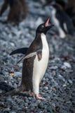 嘎嘎叫在灰色木瓦海滩的Adelie企鹅 图库摄影