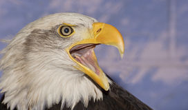 嘎嘎叫美国秃头接近的老鹰的纵向  免版税库存照片