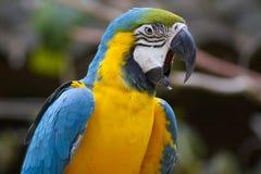 嘎嘎叫蓝色的金刚鹦鹉 免版税库存图片