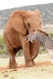 嘲笑大象的斑马 库存照片