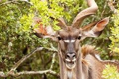 嘲笑您的更加了不起的Kudu 库存图片