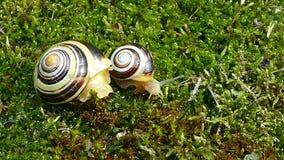 嘴唇发白蜗牛或庭院结合了蜗牛Cepaea hortensis