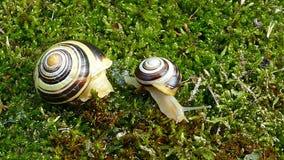 嘴唇发白蜗牛或庭院结合了蜗牛Cepaea hortensis 股票视频