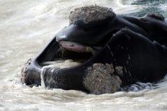 嘴正确的南部的鲸鱼 免版税库存图片