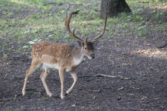 噢,我的鹿 免版税库存图片