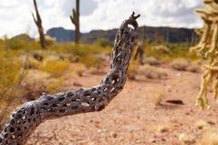 器官管仙人掌国家历史文物,亚利桑那,美国 免版税库存照片