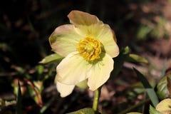 嚏根草属在有机庭院里 尽管名字例如冬天上升了,玫瑰色的圣诞节,并且四旬斋玫瑰色黑黎芦不是 库存照片
