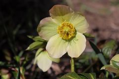 嚏根草属在有机庭院里 尽管名字例如冬天上升了,玫瑰色的圣诞节,并且四旬斋玫瑰色黑黎芦不是 免版税库存照片