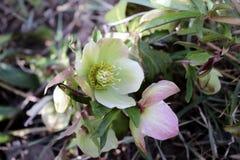 嚏根草属在有机庭院里 尽管名字例如冬天上升了,玫瑰色的圣诞节,并且四旬斋玫瑰色黑黎芦不是 免版税库存图片