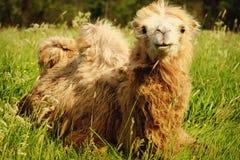 嚼与开放嘴说谎的骆驼食物隔绝在绿草 库存图片