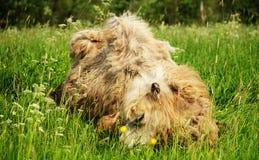 嚼与开放嘴说谎的骆驼食物隔绝在绿草 库存照片