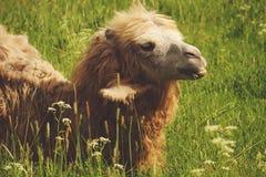 嚼与开放嘴的骆驼食物说谎在绿草 免版税图库摄影