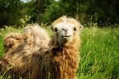 嚼与开放嘴说谎的骆驼食物隔绝在绿草 免版税库存图片