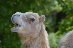 嚼与他的嘴的骆驼开放 库存图片