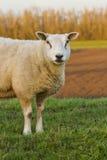 嚼唯一草的羊羔 库存图片