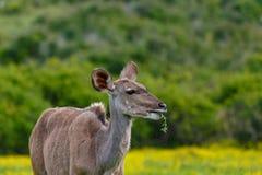嚼在叶子的女性kudu 库存图片