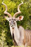 嚼在叶子的更加伟大的Kudu 免版税库存照片