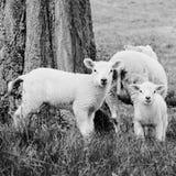 嚼在春天草的绵羊和两只羊羔 图库摄影