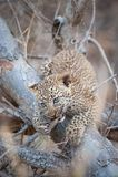 嚼在树的一根棍子的逗人喜爱的豹子崽 库存图片