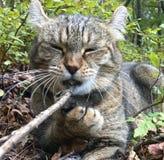 嚼在棍子的猫 库存照片