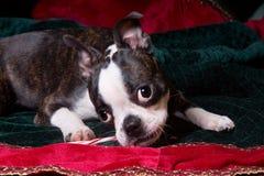 嚼在棒棒糖的Poopsie圣诞节 免版税库存图片