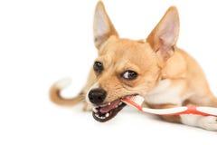 嚼在牙刷的逗人喜爱的狗 库存照片