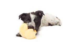 嚼在玩具的小狗 免版税库存照片