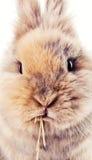 嚼在秸杆的逗人喜爱的兔宝宝 免版税库存图片