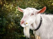 嚼在美好的被弄脏的绿色背景的一朵雏菊花的白色山羊 复制spase 库存图片