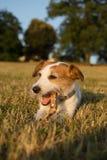 嚼在草日落的杰克罗素狗一根棍子LYONG下来 库存图片