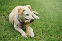 嚼大骨头的拉布拉多小狗 库存照片