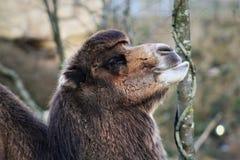 嚼干草的黑褐色骆驼 免版税库存图片