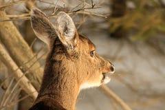嚼枝杈的白尾鹿母鹿在冬天期间 库存图片