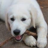 嚼棍子的白色小狗 库存照片