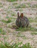 嚼植物的兔子 免版税库存照片