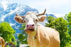 嚼母牛 免版税库存照片