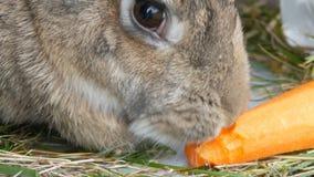 嚼滑稽的非常大灰色的兔子或吃红萝卜 2个所有时段小鸡概念复活节彩蛋开花草被绘的被安置的年轻人 股票录像
