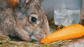 嚼滑稽的非常大灰色的兔子或吃红萝卜 2个所有时段小鸡概念复活节彩蛋开花草被绘的被安置的年轻人 股票视频