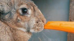 嚼滑稽的非常大灰色的兔子或吃红萝卜 2个所有时段小鸡概念复活节彩蛋开花草被绘的被安置的年轻人 影视素材