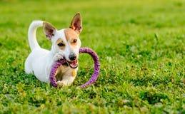 嚼玩具的可爱的狗躺下在绿草 库存图片