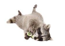嚼生皮鞭骨头的滑稽的浣熊 图库摄影