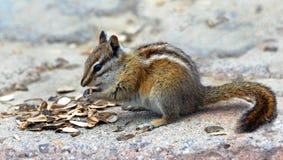 嚼种子的花栗鼠 免版税库存照片