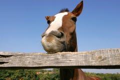 嚼篱芭的幼小马在农厂夏令时滑稽的场面 库存图片
