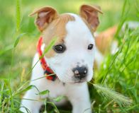嚼草的美国人斯塔福德郡逗人喜爱的狗小狗 免版税库存照片